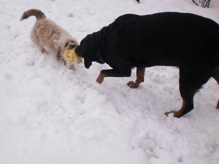 FOTKA - Roxy a Aisha  si hrají na sněhu v polovině března  - 15.3.2010