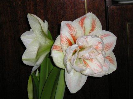 FOTKA - amarilis