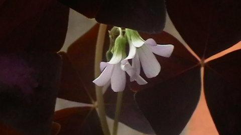 FOTKA - Oxalis-květ