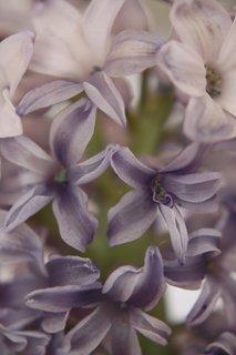 FOTKA - Hyacint IV.