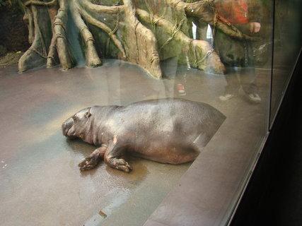 FOTKA - hroší siesta