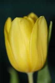 FOTKA - Tulipán V.