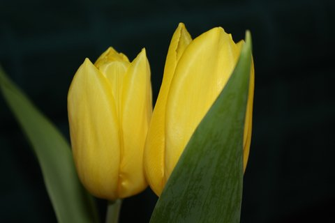 FOTKA - Tulipán VI.