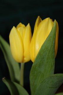 FOTKA - Tulipán VII.