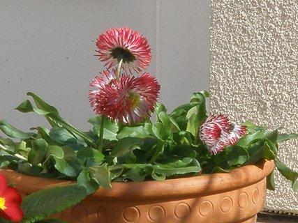FOTKA - zahradní sedmikrásky