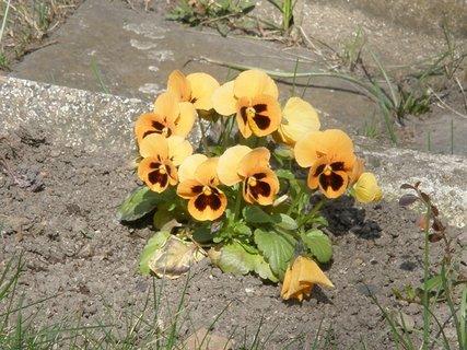 FOTKA - žluté macešky