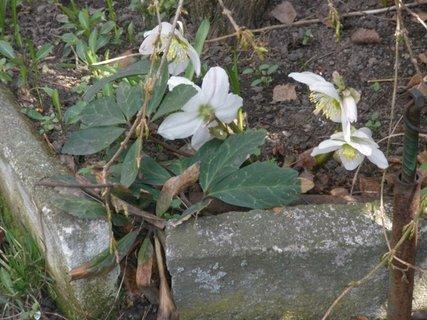 FOTKA - čemeřice bílá