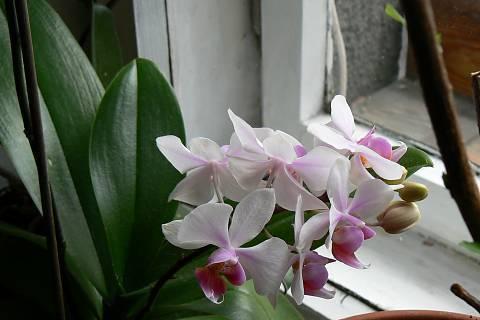FOTKA - orchidej 3