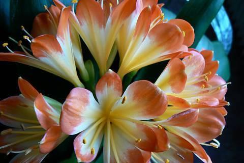 FOTKA - klivie celý květ