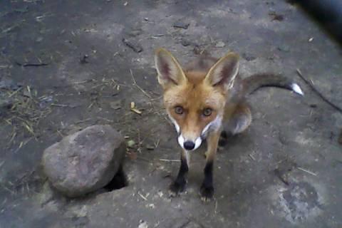 FOTKA - liška