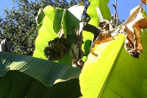 FOTKA - bananovnik