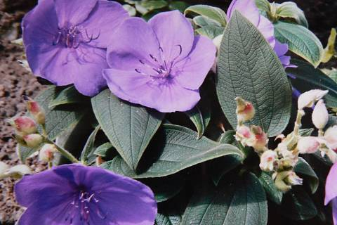 FOTKA - fialová pokojovka