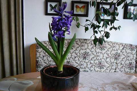 FOTKA - hyacint v kuchyni