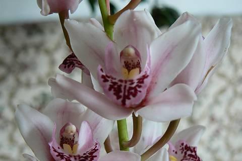 FOTKA - orchidej 1