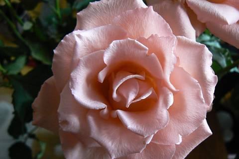 FOTKA - růže 17