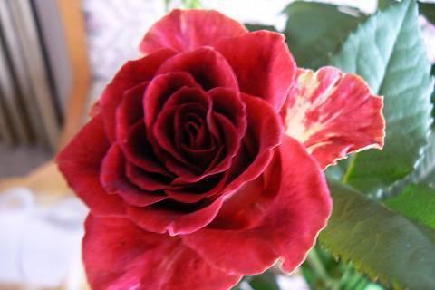 FOTKA - růže 18