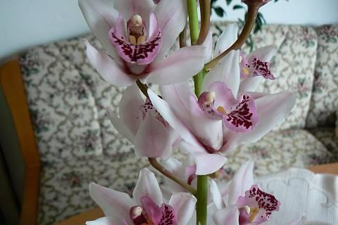 FOTKA - orchidej 4