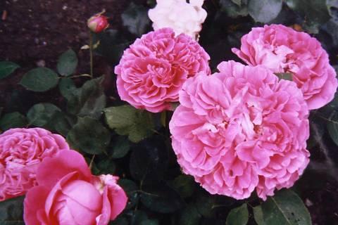 FOTKA - růže 10