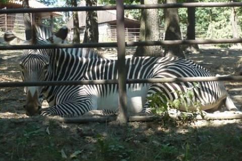 FOTKA - Zebra.