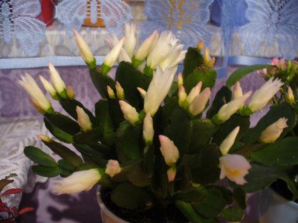 FOTKA - kaktus mi kvete bíle