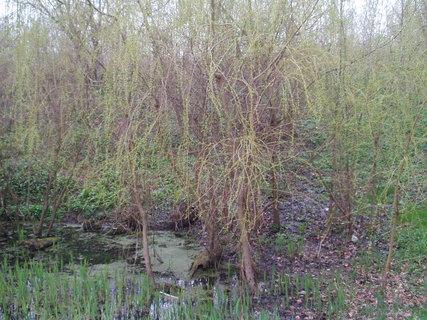 FOTKA - Vrba, rostoucí rákosí