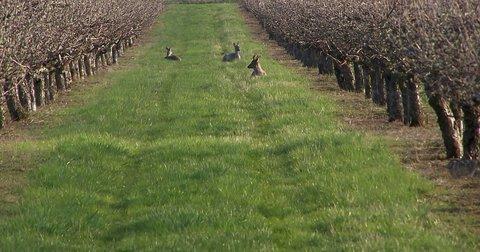 FOTKA - Srnky v jabloňovém sadu