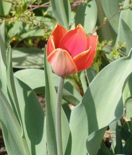 FOTKA - tulipán červený