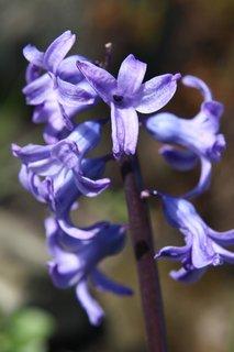 FOTKA - Hyacint VII.