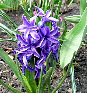 FOTKA - různé hyacinty ze zahrady -modrý