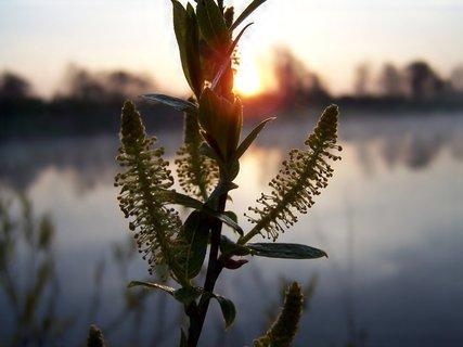 FOTKA - I vrbička už se těší - na paprsky sluníčka