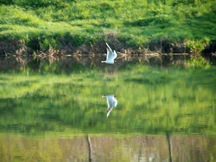 FOTKA - Také racek vyrazil - aby rybku ulovil