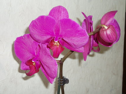 FOTKA - ud�lala jsem si radost - orchidea