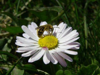 FOTKA - Včelka na sedmikrásce