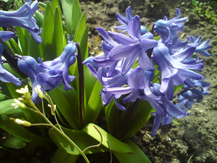 FOTKA - Hyacinty II