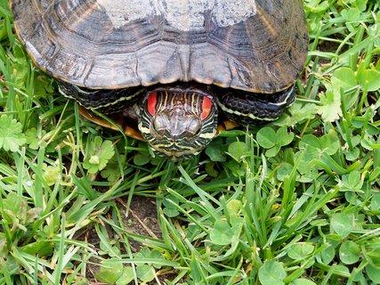 FOTKA - Vodní želvička