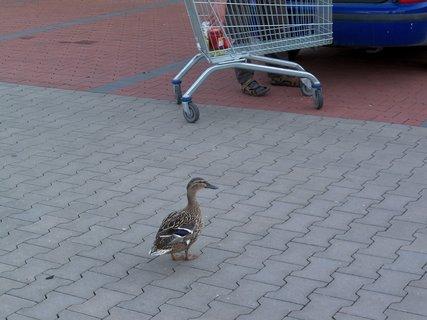 FOTKA - Kačka žebračka u nákupního centra