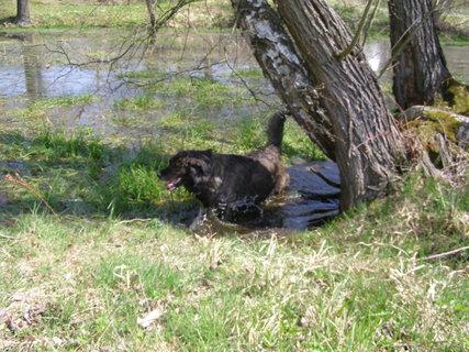 FOTKA - Plavení psů