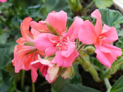 FOTKA - růžový květ muškátu