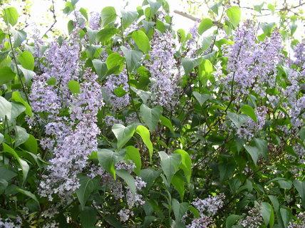 FOTKA - Šeřík v květu