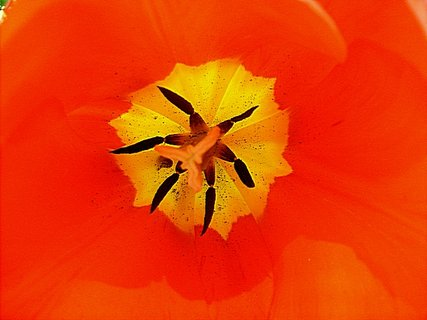 FOTKA - Vnitřek tulipánu červ.