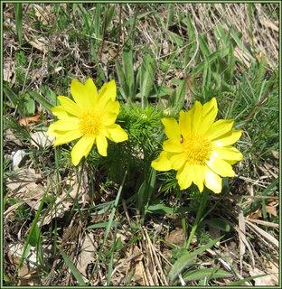 FOTKA - Žluté jarní květy