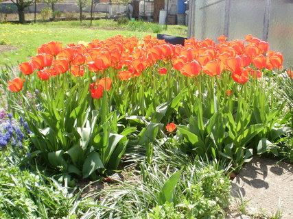 FOTKA - rud� tulip�ny