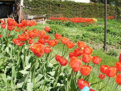 FOTKA - rudé tulipány....