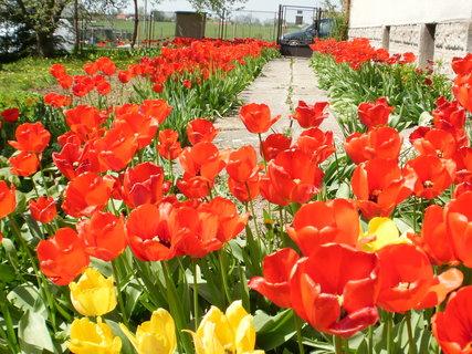 FOTKA - rudé tulipány,,,,,