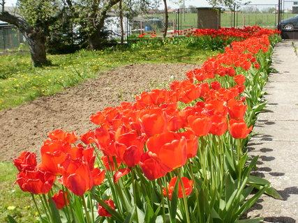 FOTKA - tulipány v řadě