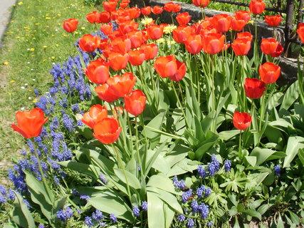 FOTKA - tulipány a modřence