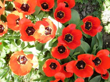 FOTKA - plně rozkvetlé tulipány