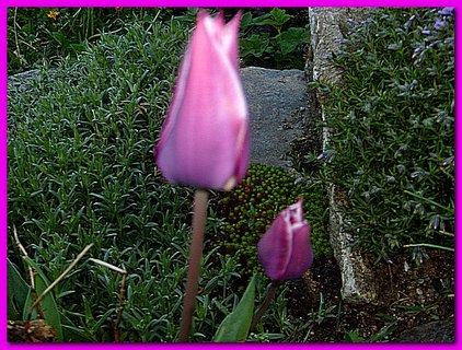 FOTKA - Skalkové tulipány - rozmazané, koucour do nich vletěl