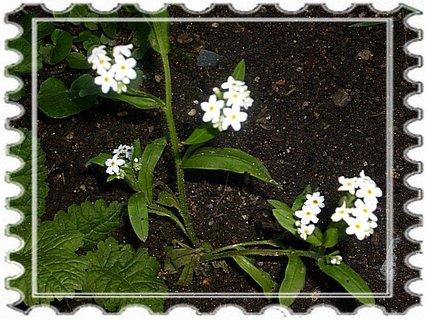 FOTKA - Bílé pomněnky