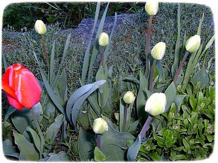 FOTKA - Tulipánky na skalce